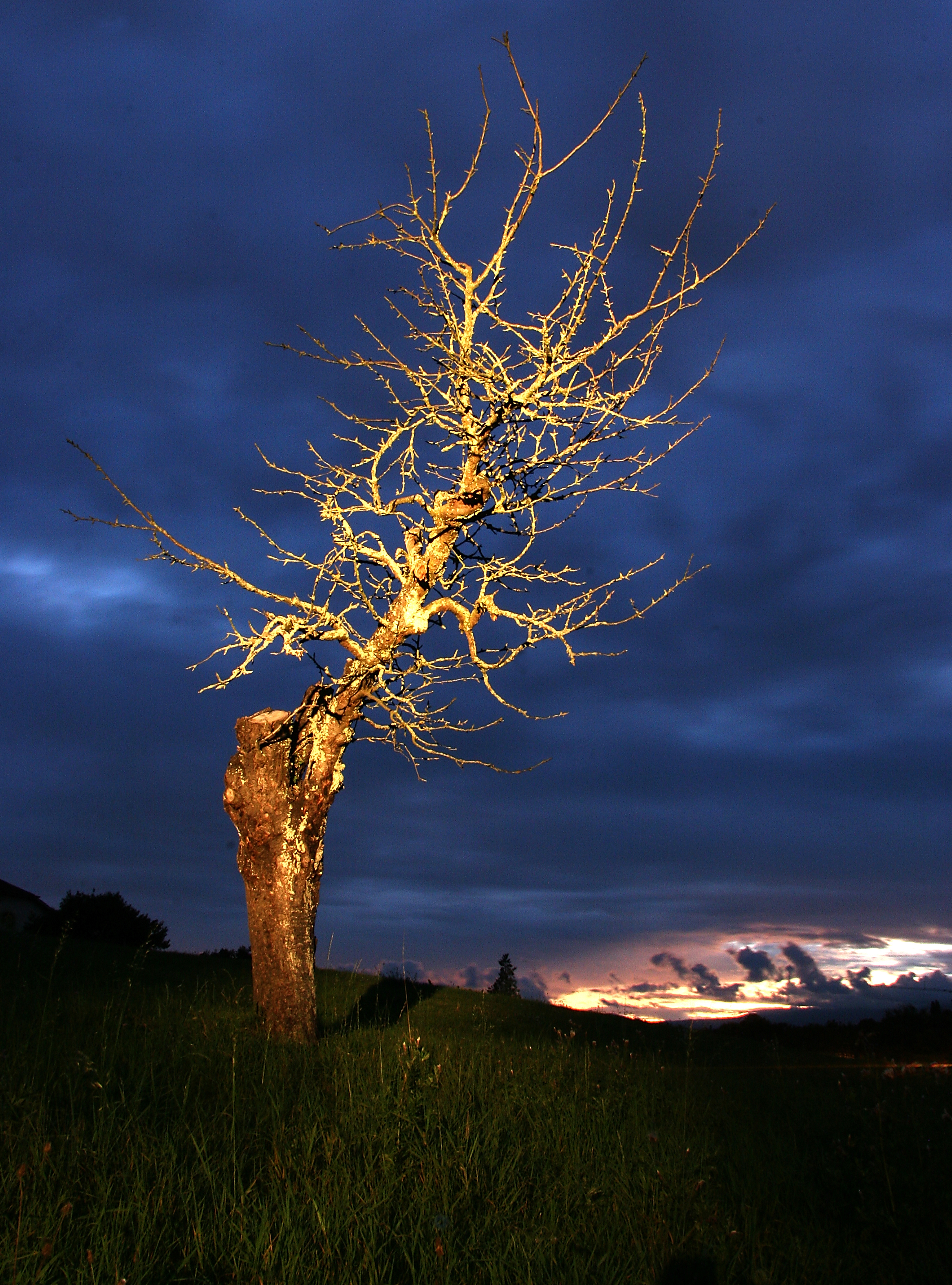 Tree, Vessy Switzerland.jpg - Vessy tree