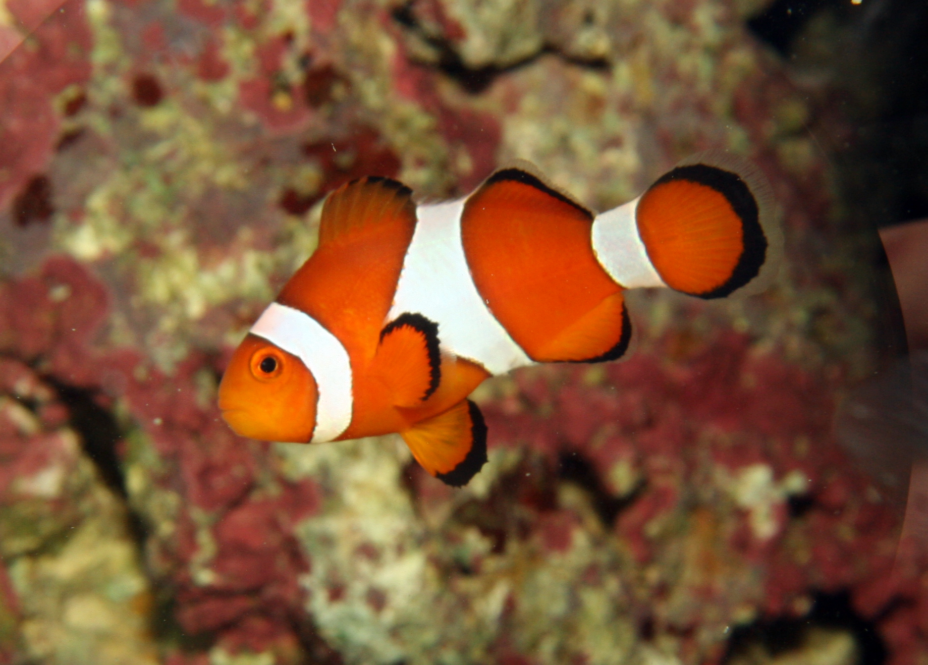 Amphiprion ocellaris (false percula clownfish), Aquarium 1.jpg - Amphiprion ocellaris (false percula clownfish)