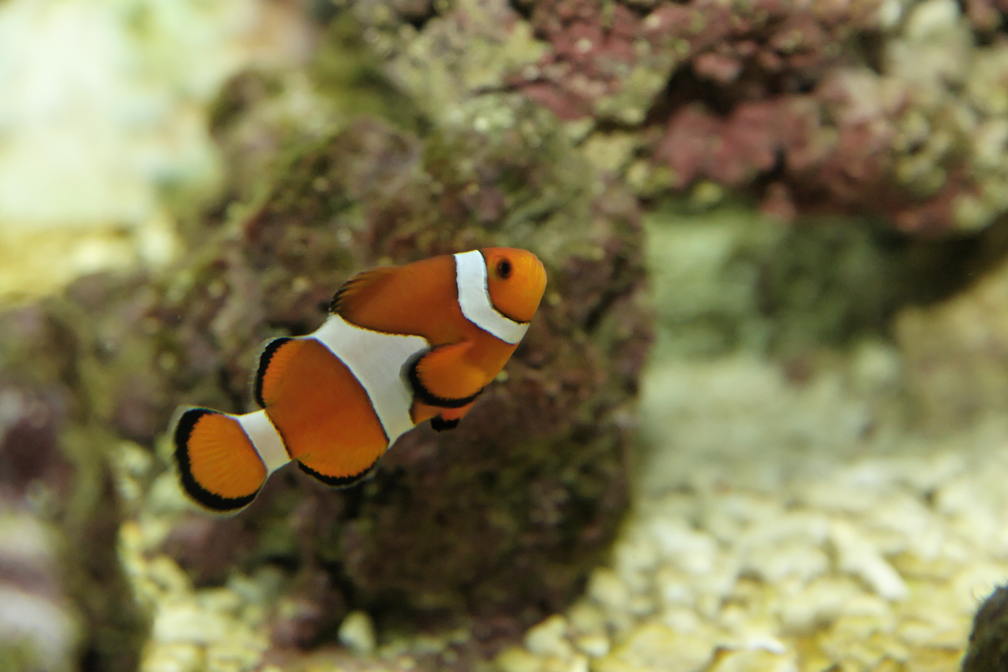 Amphiprion ocellaris (false percula clownfish), Aquarium.jpg - Amphiprion ocellaris (false percula clownfish)