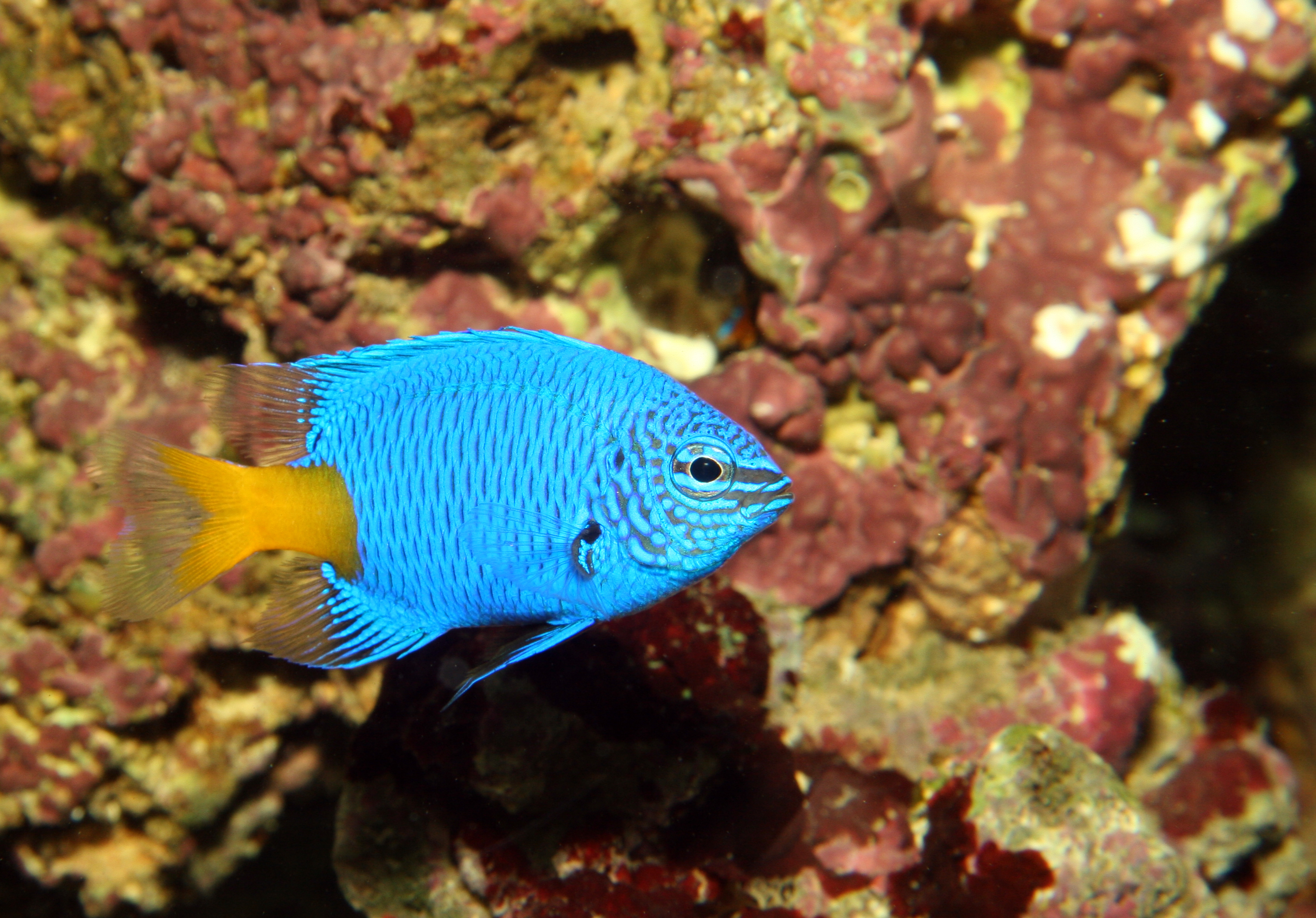 Chrysptera parasema (yellowtail blue damselfish), Aquarium 1.jpg - Chrysptera parasema (yellowtail blue damselfish)