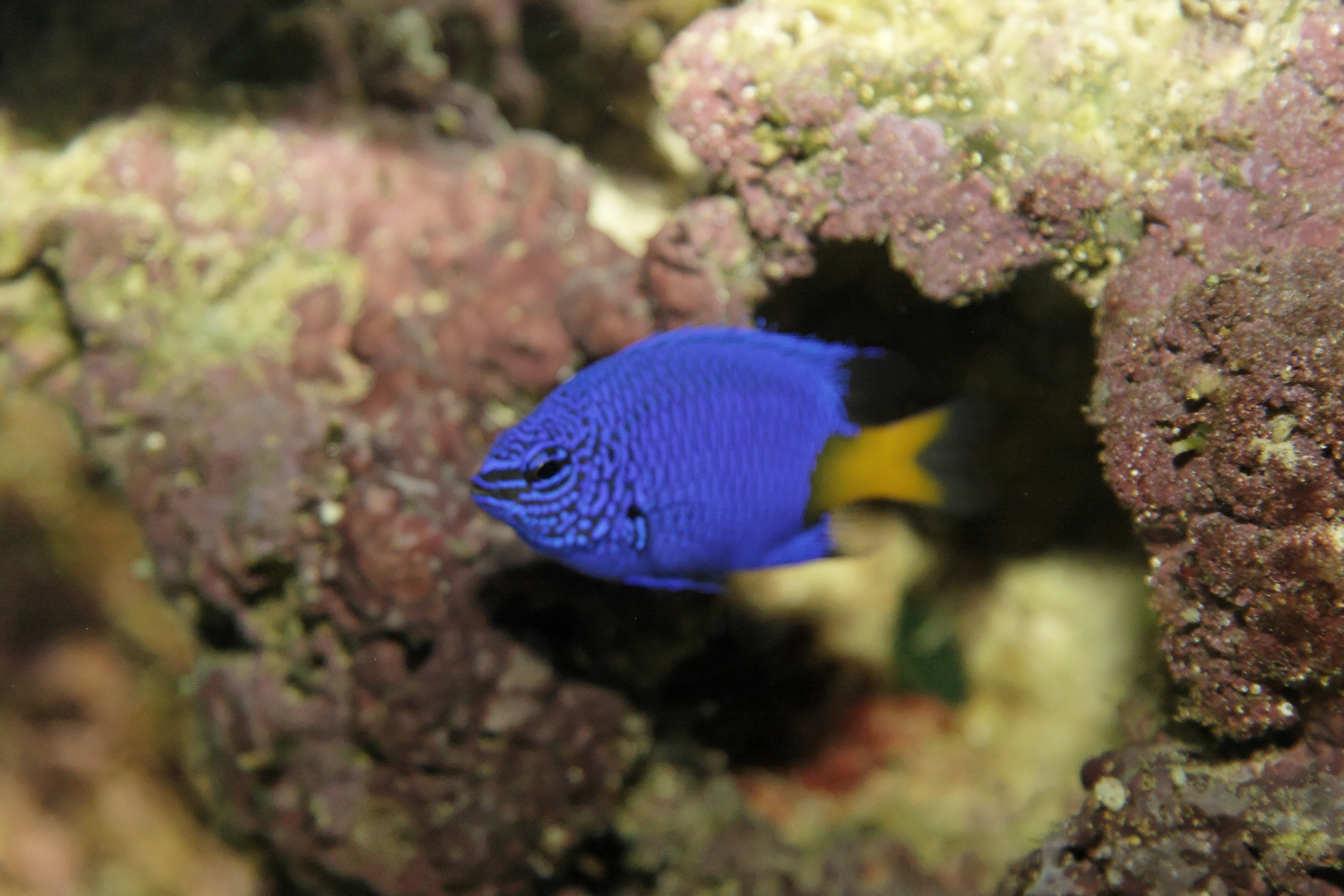 Chrysptera parasema (yellowtail blue damselfish), Aquarium.jpg - Chrysptera parasema (yellowtail blue damselfish)