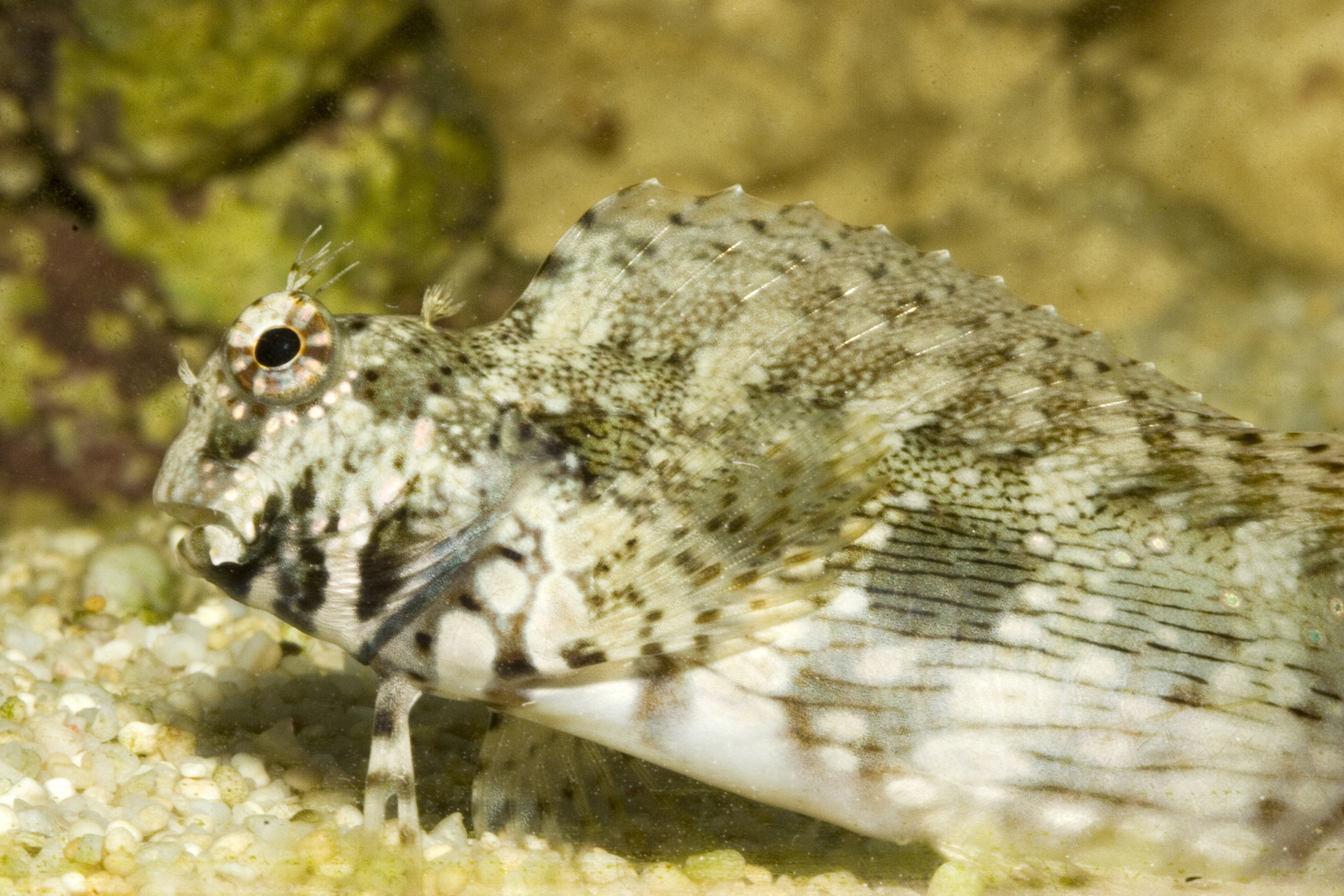 Istogobius decoratus (decorated goby), Aquarium.jpg - Istogobius decoratus (decorated goby)