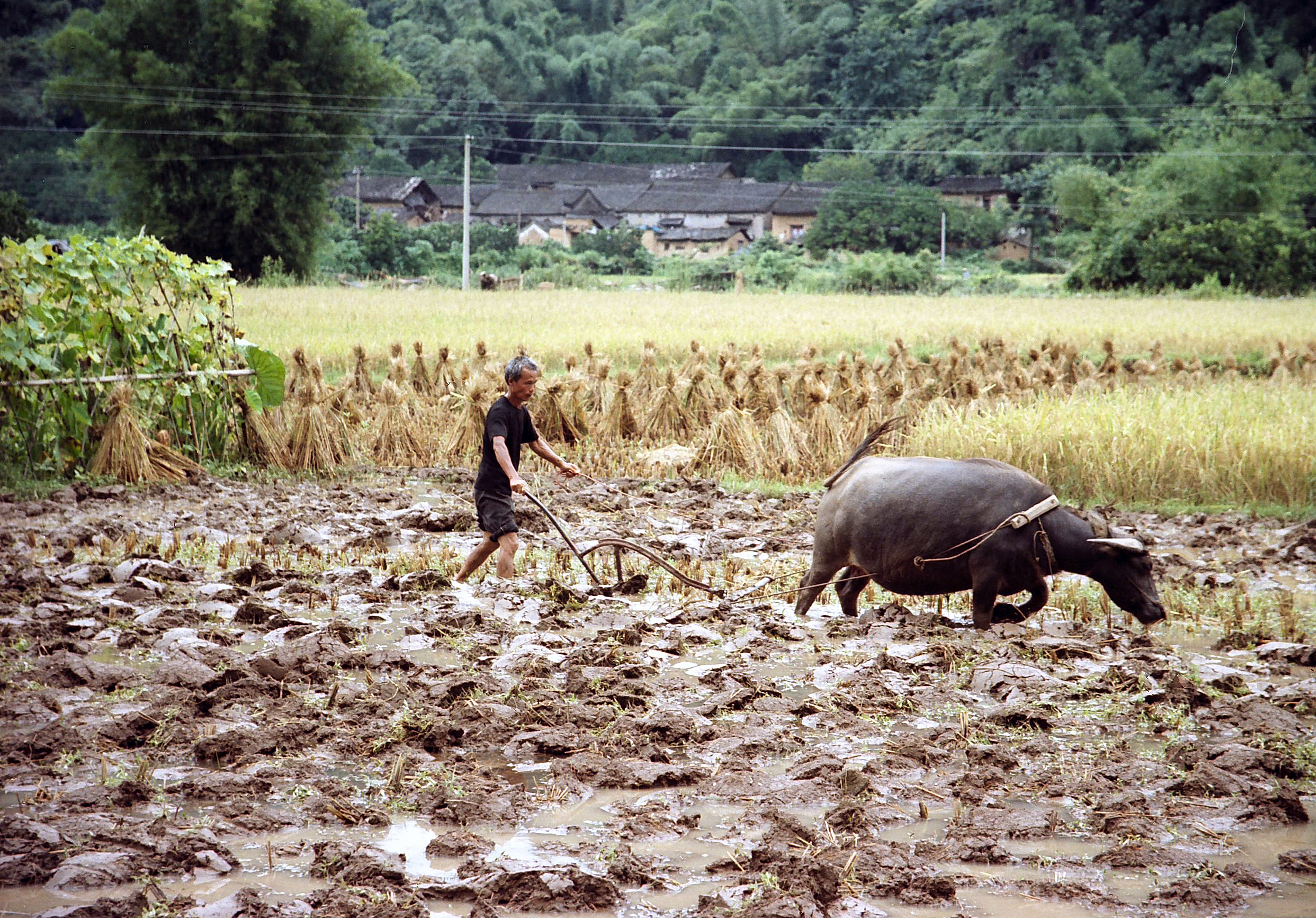 peasant ploughing with water buffalo, Guilin China.jpg