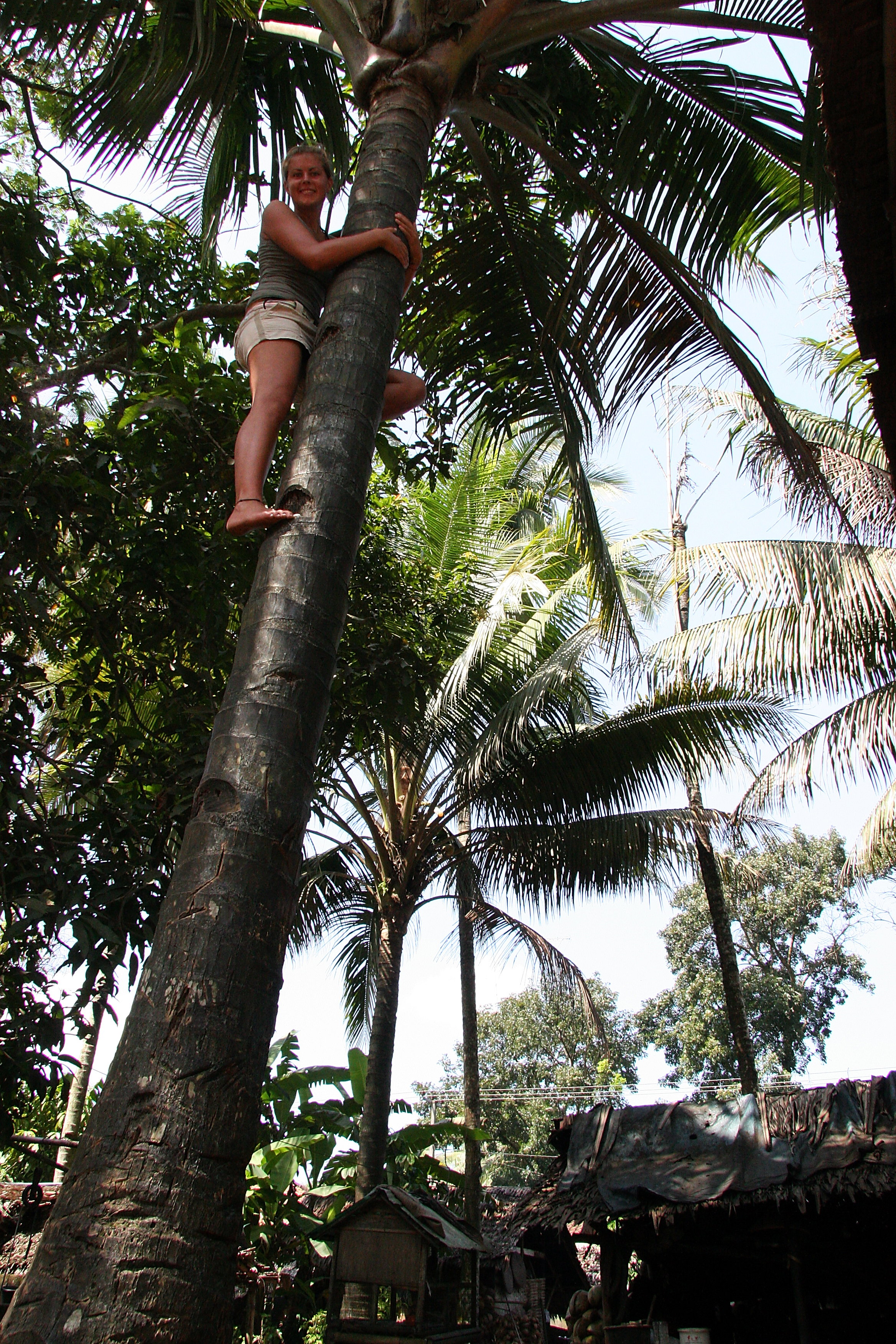 Palm tree climbing, Java Pangandaran Indonesia.jpg
