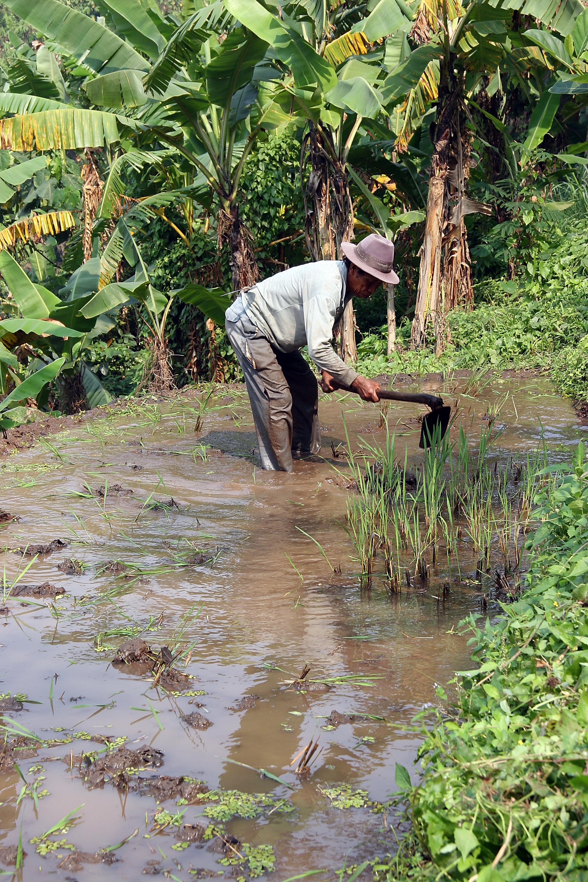 cultivating the rice paddies, Java Indonesia.jpg - Indonesia Java cultivating the rice paddies