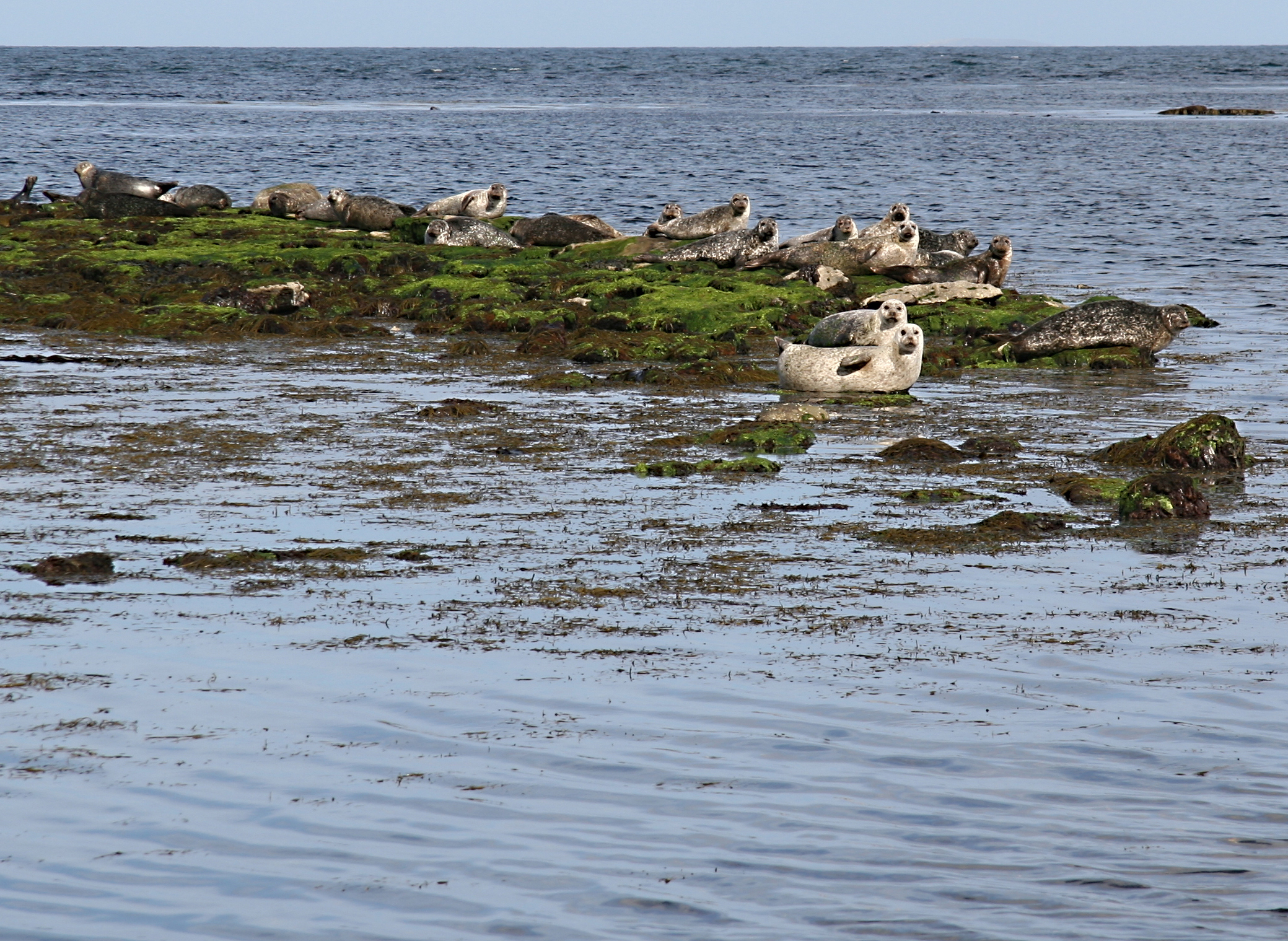 Seals, Aran Islands Ireland.jpg